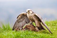 Saker South bird Royalty Free Stock Images