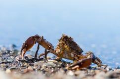 sakhalin Liten krabba på stranden Royaltyfri Foto