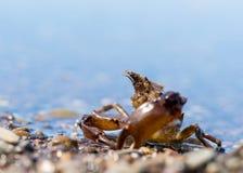 sakhalin Liten krabba på stranden Arkivfoto