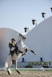 Sakhir, Bahrain 26. November: Lipizzaner Stallionserscheinen Stockfotografie