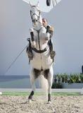 Sakhir, Bahrain il 26 novembre: Esposizione degli Stallions di Lipizzaner Fotografie Stock