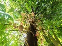 Sakhua drzewo Obraz Royalty Free