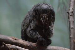 Saki-Affe auf einer Niederlassung Stockfoto