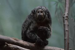 Saki-Affe auf einer Niederlassung Stockfotografie
