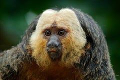 Saki Branco-enfrentado, pithecia do Pithecia, retrato do detalhe de macaco do preto escuro com cara branca, animal no habitat da  foto de stock