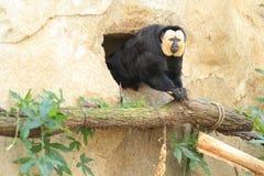 Saki monkey Royalty Free Stock Photography