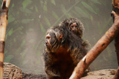 Saki Monkey Lizenzfreie Stockfotos