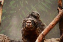 Saki Monkey Stockfoto