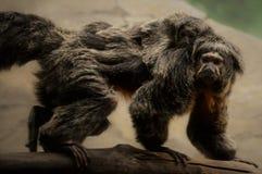 Saki Monkey Stockfotos