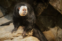 Saki Monkey Lizenzfreie Stockfotografie