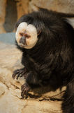 Saki Monkey Lizenzfreies Stockbild