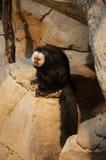 Saki Monkey Lizenzfreies Stockfoto