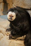 Saki Monkey Stockbild