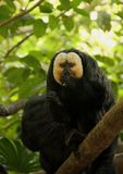 Saki Monkey Stock Photography