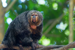 Saki Monkey Portrait Stock Photo