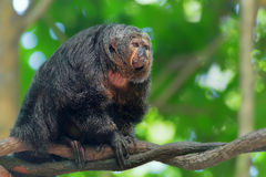 Saki Monkey Portrait Royalty Free Stock Images