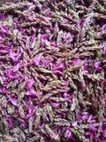 Sakinoo多小山食物的芽 免版税图库摄影