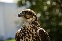 Sakir Falcon portraiture. Royalty Free Stock Images