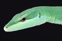 Sakishima grass lizard (Takydromus dorsalis) Stock Images