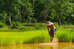 Farmer harvesting rice sprouts to replant in rice farm. Sakonnakhon, Thailand - July 30, 2016: Farmer harvesting rice sprouts from small area farm to replant in Royalty Free Stock Image