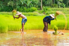 Farmers harvesting rice sprouts to replant in rice farm. Sakonnakhon, Thailand - July 30, 2016: Farmers harvesting rice sprouts from small area farm to replant Royalty Free Stock Images