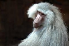 sakral baboon Fotografering för Bildbyråer