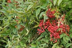 Sakral bambu med röda bär också som är bekanta som himla- bambu Fotografering för Bildbyråer