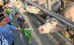 Sakral buffel av den surakarta slotten Arkivfoton