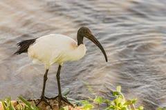 Sakral ibis för afrikan, Threskiornisaethiopicus, i Ngorongoro Royaltyfri Fotografi