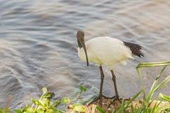 Sakral ibis för afrikan, Threskiornisaethiopicus, i Ngorongoro Arkivbilder