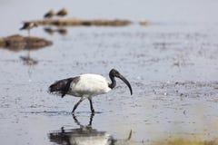 Sakral ibis på sjön Nakuru, Kenya Royaltyfri Bild