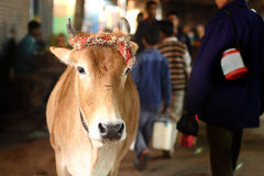 Sakral ko i Indien Fotografering för Bildbyråer