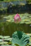 sakral lotusblomma Arkivbilder