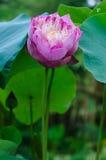 Sakral lotusblomma för rosa färger Royaltyfria Bilder