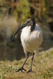 sakral threskiornis för aethiopicusibis latham Royaltyfri Bild