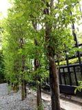 sakral tree arkivfoton