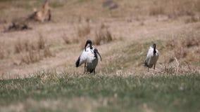 Sakrala ibins som gör ren fjädrar arkivfilmer