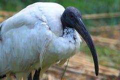 Sakrala ibis fotografering för bildbyråer