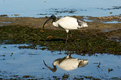 sakrala ibis royaltyfri bild