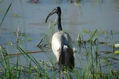 sakrala ibis Arkivfoto