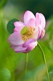 sakralt övre för tät lotusblomma för blomma fossil- strömförande royaltyfri bild