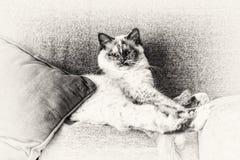 Sakralt av Burmakatt sträckte att se kameran ut på soffan Royaltyfri Bild