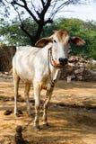 Sakralt djur för ko i Indien arkivbilder