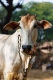 Sakralt djur för ko i Indien royaltyfri fotografi