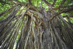 Sakralt träd i djungeln india goa Royaltyfria Foton