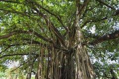 Sakralt träd i djungeln india goa Royaltyfri Foto