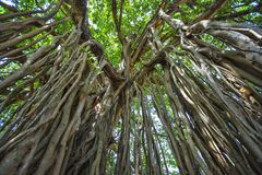 Sakralt träd i djungeln india goa Royaltyfri Bild