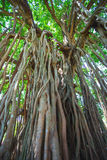 Sakralt träd i djungeln india goa Royaltyfria Bilder