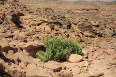 Saksaul in stones Stock Photo