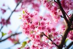 Sakura è colore rosa fotografia stock